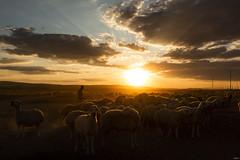 sürü (yasar metin) Tags: sürü life light çoban bozkır hayat bozkırdahayat içanadolu kırşehir şekerfabrikası günbatımı koyun koyunsürüsü insan insanoğlu fotoğraf fotograf canon canon70d akşamüstü huzur
