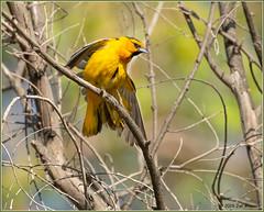 Bullock's Oriole 8256 (maguire33@verizon.net) Tags: bullocksoriole icterusbullockii oriole pradoregionalpark bird male wetlands wildlife chino california unitedstatesofamerica