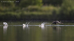 Eurasian Coot (Fulica atra) (Jeluba) Tags: 2019 bläshuhn canon eurasiancoot foulquemacroule france fulicaatra jeanlucbaron jeluba aves bird birdwatching nature oiseau ornithology wildlife horizontal