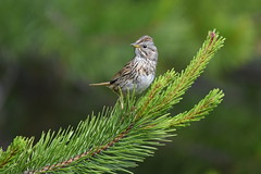 Lincoln's Sparrow (Christopher Lindsey) Tags: skamaniacounty washington lincolnssparrow birds birding bird