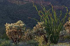 Spring Cholla & Ocotillo (Eric Binns Photography) Tags: arizona desert cactus cacti landscape outside outdoors sonorandesert cholla flower flowering red ocotillo saguaro backlit