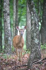 Angry Deer (repete7) Tags: deer mammal virginia unitedstatesofamerica whitetaileddeer virginiadeer odocoileusvirginianus flies doe woods forest oaktree wildlife bokeh depthoffield