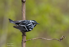 Black & White Warbler (Jamie Lenh Photography) Tags: nature wildlife birds warbles blackwhitewarbler nikon tamron spring ontario canada jamielenh black white