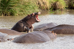 Baby Hippo (Nature's Image Photography) Tags: hippo hippopotamus babyanimals africa nature wildlifephotography photographytour serengeti