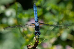 Dragonfly (grits2go) Tags: mercercounty princeton lakecarnegie summer dragonfly newjersey nj