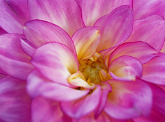 dahlia close-up (Web-Betty) Tags: flowers annuals spring pink flora nature dahlia