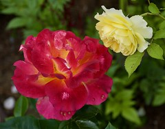 Roses (barbmerrill2) Tags: flora castine maine