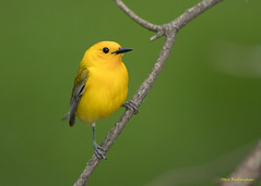 Prothonotary Warbler (sbuckinghamnj) Tags: newjersey warbler bird prothonotarywarbler