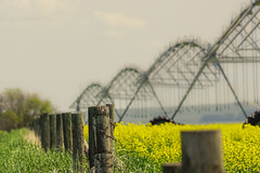 Pivots (hey ~ it's me lea) Tags: pivots irrigationsystems canola farm agriculture fence hff fencefriday happy friday alberta