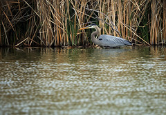 hunkered down (oldogs) Tags: bird waterbird heron greatblueheron cattailpond water cattails