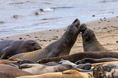 Juvenille elephant seals (explored) (j1985w) Tags: california anonuevo beach ocean water sand seals elephantseals