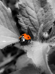 Ladybug (S.E.A. Photography) Tags: garden summer canada ontario nature blackandwhite red leaves insect ladybug bug