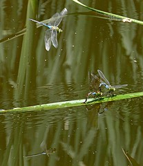 A reflection on jealousy (Eat With Your Eyez) Tags: common green darner commongreendarner mate mating ovipositing sex sexual baby babies dragonfly dragonflies voyeur odonate odonata wing wings eye eyes fly flying cuyahoga falls ohio summit county panasonic fz1000