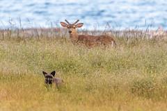 Look behind you! (jeff's pixels) Tags: red animal fox ocean pnw coast field nature bird bus train plane nikon wildlife