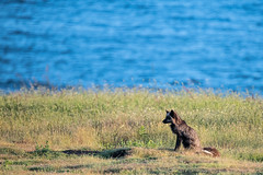 Fox near the beach (jeff's pixels) Tags: animal fox ocean pnw coast field nature bird bus train plane nikon wildlife