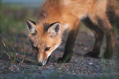 Vacances 2019 (SVaiPhoto) Tags: québec cstéphanevaillancourt svaiphotocom svstephanevaillancourtcom vacances2019 nature animal landscape fox paysage troispistoles renard