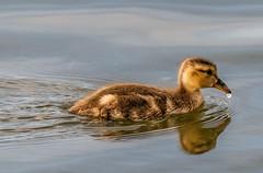 Gadwall Duckling | Seattle (sunrisesoup) Tags: gadwall duck duckling lake lakewashington seattle wa usa andrewsbay bird sewardpark sunrisesoup