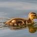 Gadwall Duckling   Seattle