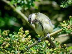 🇬🇧 A cute juvenile great tit. (vickyouten) Tags: vickyouten juvenilegreattit greattit wildlife nature nikon nikond7200 nikonphotography nikkor55300mm burtonwood warrington uk