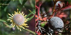 Drumsticks (OzzRod) Tags: sony a7rii supermulticoatedmacrotakumar50mmf4 bushland plants flowers drumstick isopogon diptych dailyinjuly2019 awabakalnaturereserve dudley newcastle australia