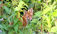 Don't Look Back, You Can Never Look Back....... (law_keven) Tags: urbanredfoxcub foxes urbanredfox catford london uk wildlife wildlifephotography photography redfox animals animalphotography foxcubs foxcub