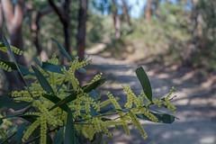 Winter Wattle (OzzRod) Tags: sony a7rii supermulticoatedmacrotakumar50mmf4 bushland plants flowers wattle trail track awabakalnaturereserve dudley newcastle australia