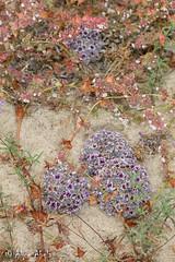 Purple Sand Food (Pholisma arenarium) (aliceinwl1) Tags: boraginaceae ca california desertpholisma guadalupe pholisma pholismaarenarium plantae purplesandfood sanluisobispocounty scalystemmedsandplant arenarium desertchristmastree dunefood locnoone parasite parasitic plant purple viseveryone