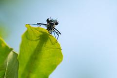Hello......... (klythawk) Tags: bandeddemoiselle calopteryxsplendens dragonfly wildlife nature summer sunlight leaves shadow green blue yellow grey black olympus omd em1mkll 40150mm 14xtc totonfields nottingham klythawk