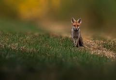 Fox - a stunning encounter (hardy-gjK) Tags: fox fuchs renard wildlife natur nature snapshot schnappschuss animal tier mammal hardy nikon morning light