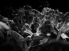 Morning dew on damaged cabbage leaves. (ALEKSANDR RYBAK) Tags: монохромный макро крупный план роса капли утро листья повреждение вредители абстракция свет тень извилины дырки monochrome macro closeup dew drops morning leaves damage pests abstraction shine shadow gyrus holes