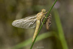 Orthetrum coerulescens (Sergio Stella) Tags: dragonfly insect odonata larva insects wings closeup born nikon