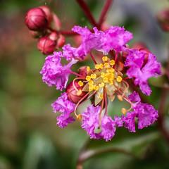 Lilas des Indes (vostok 91) Tags: vostok91 canon eos40d efs24mmf28stm fleur flower lilas indes