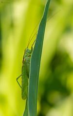 Heupferd im Mais (normen.nikon) Tags: d4 makro 105 sigma wildlife heuschrecke insekt natur nettetal nrw deutschland