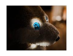 MY BLUE Eyes! (WolfiWolf-presents-WolfiWolf) Tags: wolfiwolf wolf wolfismus blue blueeyes butlers riechkolben besonders etwasganzbesonderes eneamaemü eyes enea farky fuddlers feiertag fest he huldvoll hungary jazzinbaggies joy majestic alsojetzhabianblu kunst lupus lupuslupus licht light lyric multiversen marieschen meinemajestät master ich ibindaslicht ichträumegernvonkleinenwolfis intensiv impisi öhrchen ocean portrait poem pelz kaffeesatz ö tanz treue tree er dirigent derprächtigste derschönste dirigat farkas weristderschönste quantensuppe quanten augen armani alone abenteuer stüben ss schöpfung schön strahlen fresko