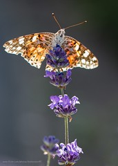 Painted lady in the light (kimbenson45) Tags: againstthelight backlit brown butterfly closeup contrejour differentialfocus flower insect lavender macro nature outdoors paintedlady plant purple shallowdepthoffield softbackground white wildlife wings appicoftheweek