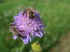 Honigbiene auf Tauben-Skabiose (to.wi) Tags: skabiose witwenblume towi makro macro rechberghausen biene honigbiene insekt insect