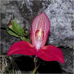 _D716395 Rooi Disa op Tafelberg (johann.spies) Tags: disa flower rooidisa tablemountain tafelberg2019 blomme flowers nature