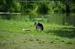 Afrikaanse maraboe - Leptoptilos crumenifer - marabou stork +  Rüppells gier  - Gyps rueppellii - Rüppell's griffon vulture (MrTDiddy) Tags: afrikaanse maraboe leptoptilos crumenifer marabou stork rüppells gier gyps rueppellii griffon vulture fort wayne childrens zoo fortwaynechildrenszoo