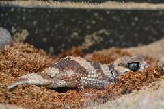gestreepte knopstaartgekko - Nephrurus wheeleri cinctus - banded knob-tailed gecko (MrTDiddy) Tags: gestreepte knopstaartgekko nephrurus wheeleri cinctus banded knobtailed gecko fort wayne childrens zoo fortwaynechildrenszoo