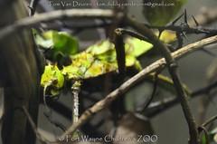 woudnimf - Heteropteryx dilatata - Malayan jungle nymph (MrTDiddy) Tags: woudnimf heteropteryx dilatata malayan jungle nymph fort wayne childrens zoo fortwaynechildrenszoo