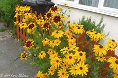July 10th, 2019 Rudbeckia (karenblakeman) Tags: cavershamgarden caversham uk rudbeckia flowers yellow 2019 2019pad july reading berkshire