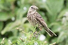 Rock pipit (alanrharris53) Tags: bird aves farne islands rock pipit feeding food