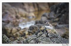 Escapade écossaise : le grand Gravelot. (C. OTTIE et J-Y KERMORVANT) Tags: nature animaux oiseaux oiseauxmarins gravelot grandgravelot ecosse