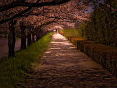Pathway with Cherry Blossoms (masayafrogs) Tags: cherryblossom japan spring pathway sakura light shadow