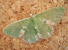 Blotched Emerald (gailhampshire) Tags: blotched emerald