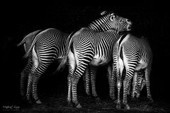 equus-grevyi (monsugar) Tags: cebra equus animal fauna blancoynegro photo art animales