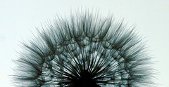 fine lines and delicate details (1ManWAC) Tags: dandelion macro blackandwhite
