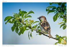 Le moineau (BerColly) Tags: france auvergne puydedôme jardin garden oiseau bird moineau portrait branche arbre tree ciel sky bercolly google flickr