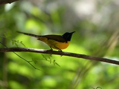 Green-tailed Sunbird - Male - Western Himalayas (forest - 10M+ Views in 20 months ...) Tags: greentailed sunbird male western himalayas greentailedsunbird westernhimalayas bird forest mountainbirding mountain birding outstanding image outside outdoor outer