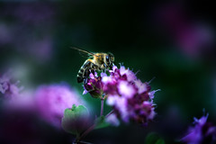 (martha hoo) Tags: flower lowlight dark bee biene natur nature garden garten makro macro hobbyfotografie sonyalpha sony